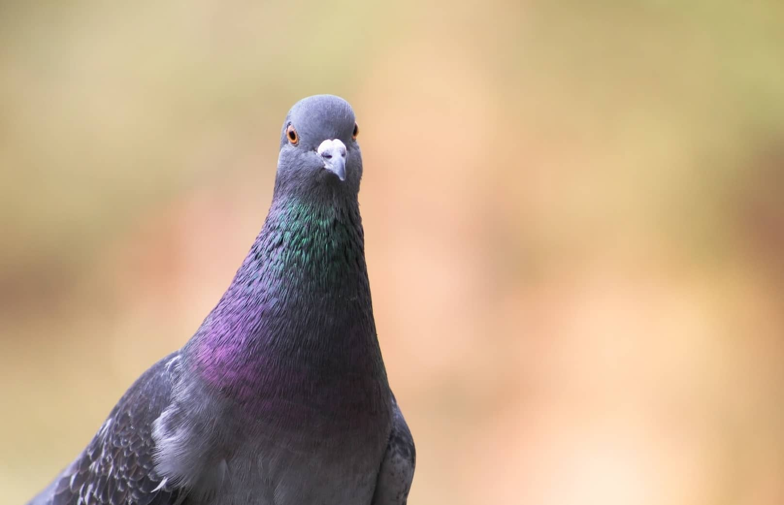 Why Do Pigeons Coo, Grunt & Whistle? Is It How They Talk? Here's The Answer...