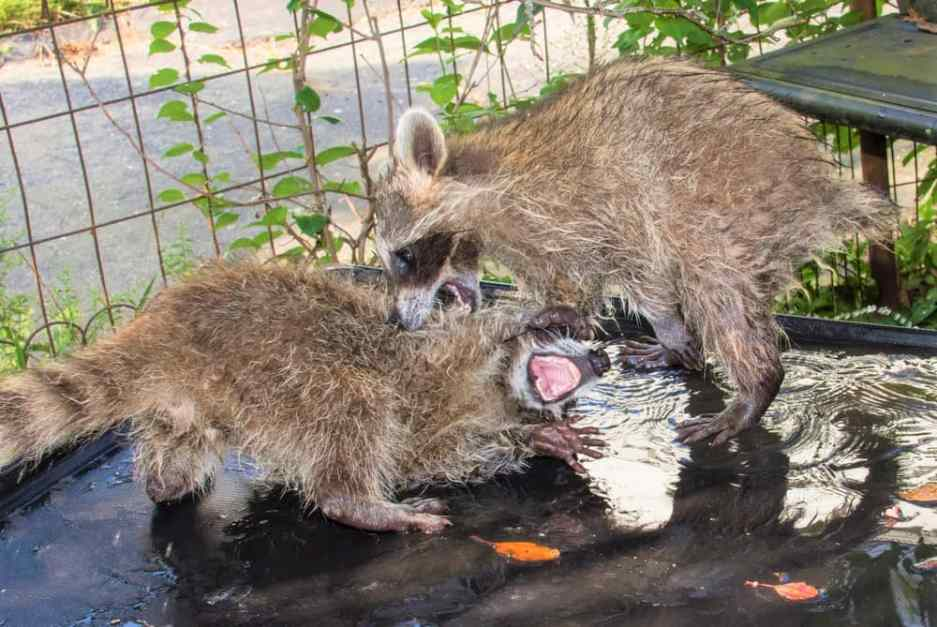 Why Do Raccoons Fight with Each Other?