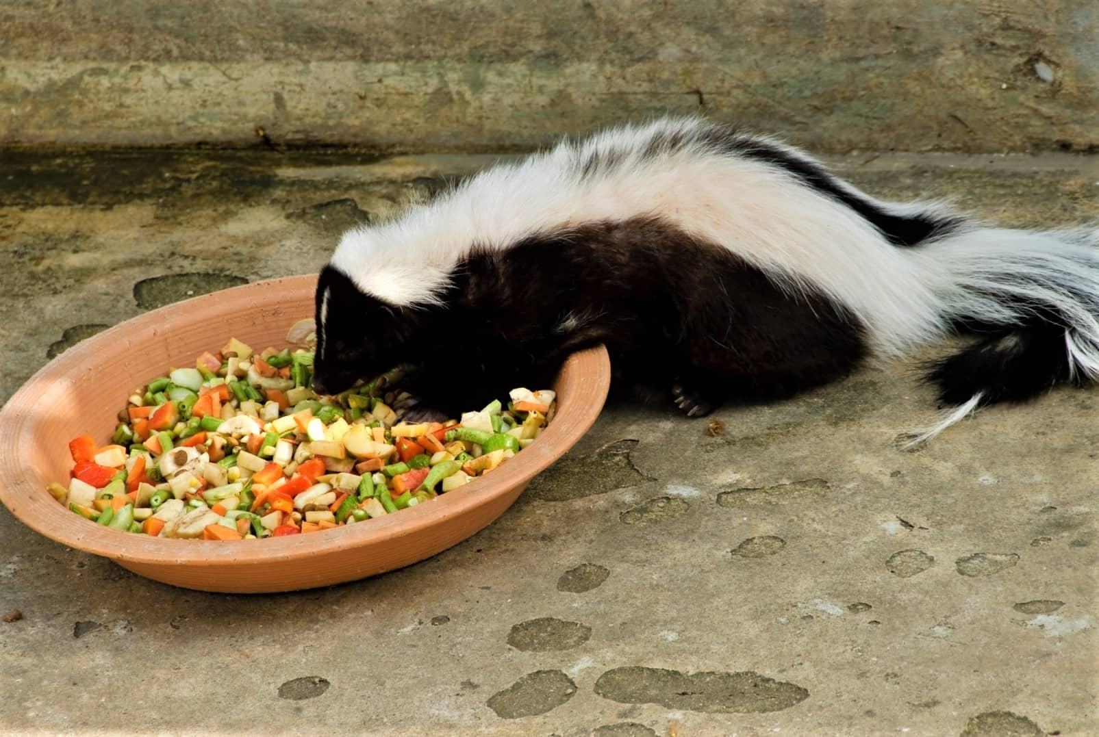 Do Skunks Eat Meat What Do They Eat Alot What Do They Like...