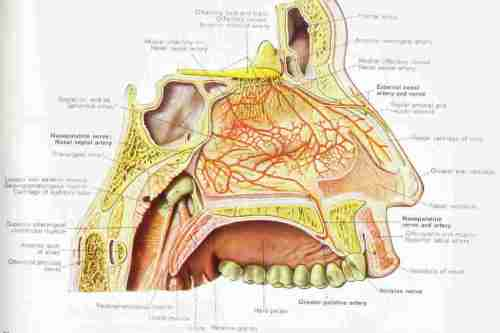 small resolution of diagram of the highly vascularized nasal mucosa
