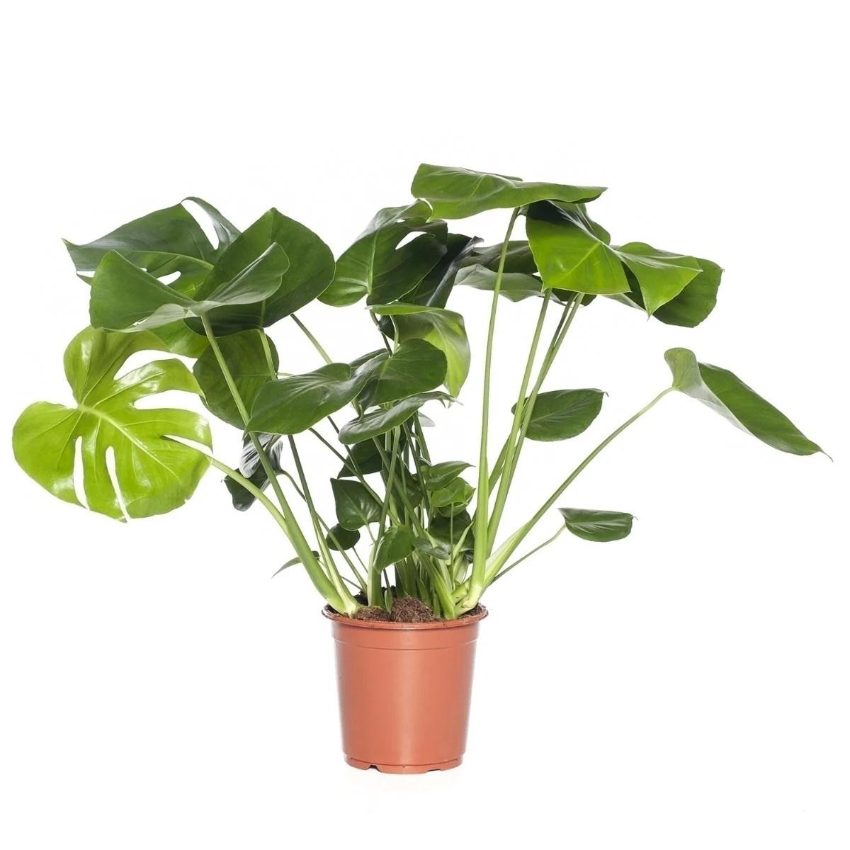 Gatenplant Monstera deliciosa D 21 cm  Intratuin