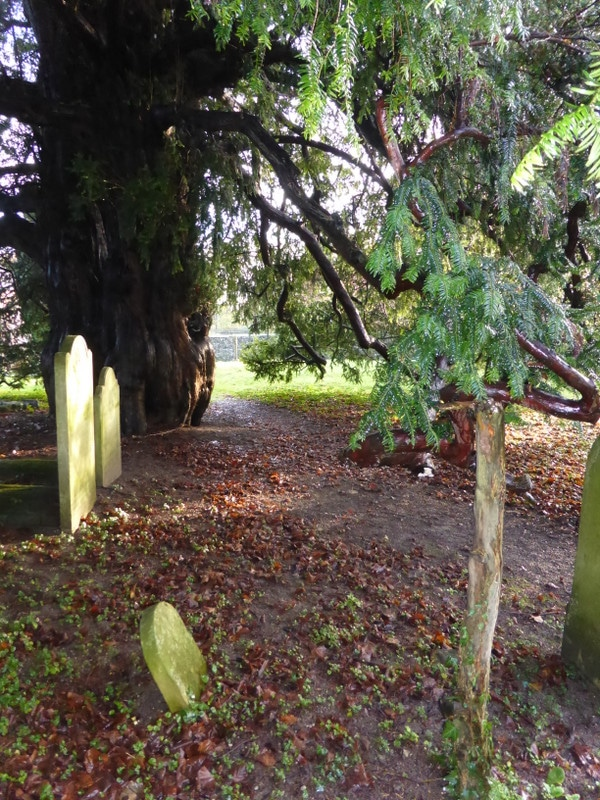 1000 Year old yew tree Corhampton Hampshire UK