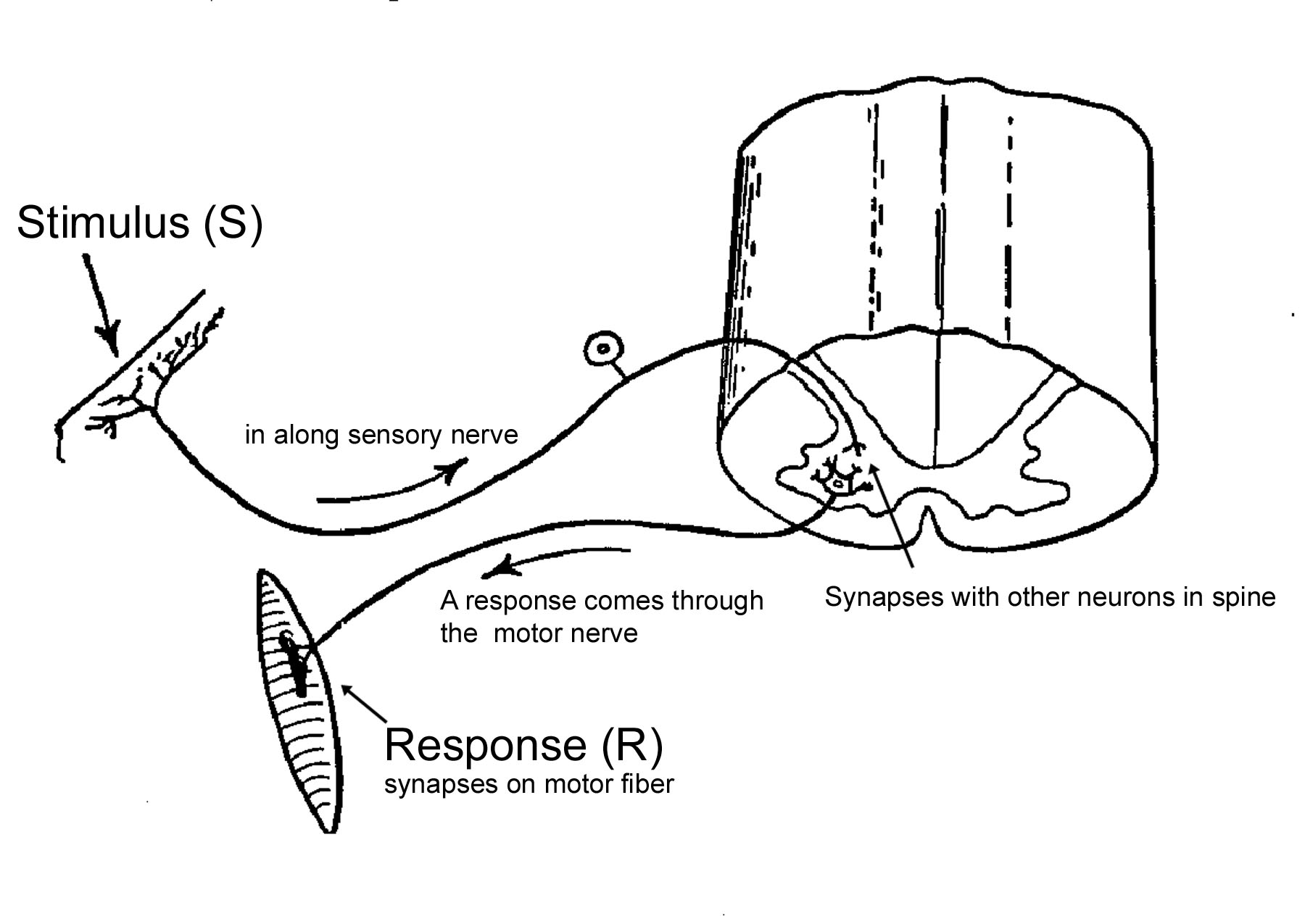diagram of a simple reflex arc 97 ford explorer audio wiring classical conditioning in chapter 05