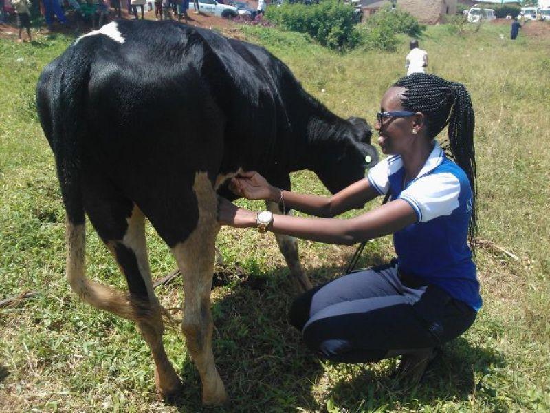 Umwe mubakozi ba BK agerageza kwagaza inka kugira ngo ituze.