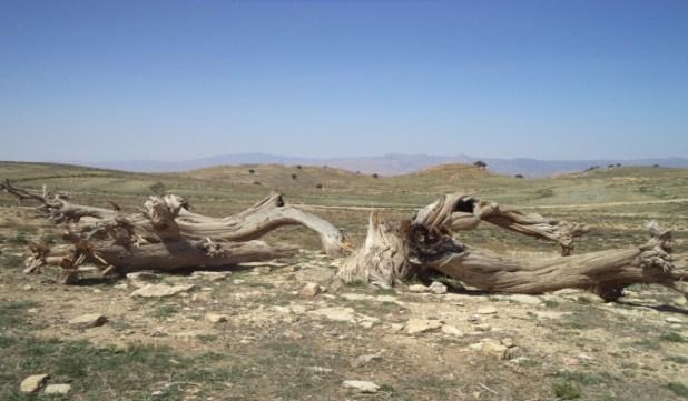 الصورة 3.ب : شجرة آيوال محروقة بمنطقة هكوكث