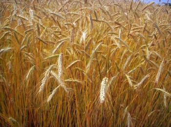 4 milioni di tonnellate di grano duro canadese 'tossico' pronto per essere esportato: indovinate dove...