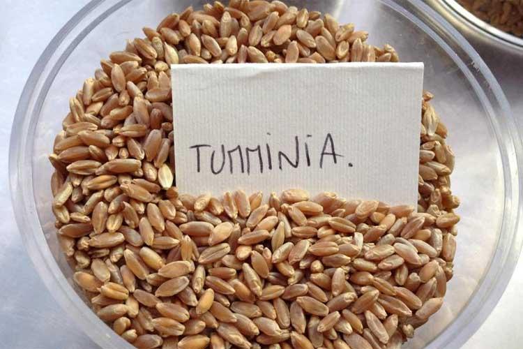 Com'era prevedibile, il Nord Italia vuole rubare i grani antichi alla Sicilia! Si comincia con la Tumminìa…
