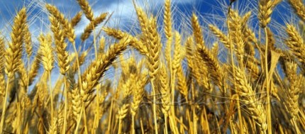 Battaglia del grano: I Nuovi Vespri e GranoSalus vincono in Tribunale contro Aidepi, Barilla, De Cecco, Divella, La Molisana e Garofalo