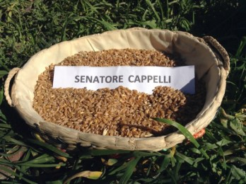 Grano duro: il Centro Nord Italia si prende la varietà Senatore Cappelli alla faccia del Sud!