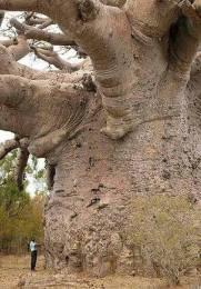 Quanto avrebbe resistito un albero del genere a Palermo?