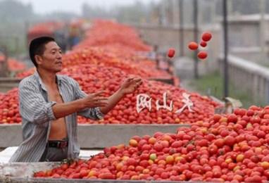 Che passata di pomodoro arriva sulle nostre tavole? L'esempio di Valledolmo dove...