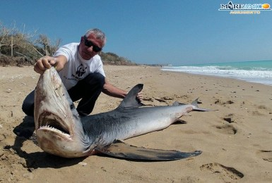 Combattimento tra squalo e pesce spada e... vince il pesce spada!