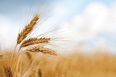Per salvare il grano duro in Sicilia uniti nella lotta contro il grano estero spesso tossico/ MATTINALE 134