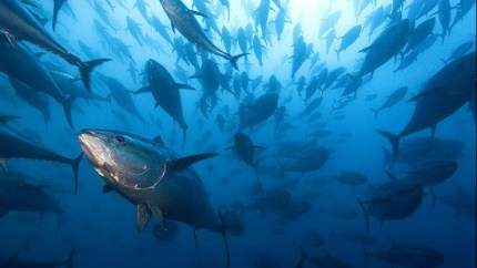 Nel Mediterraneo l'eccesso di tonni sta riducendo la presenza di pesce azzurro
