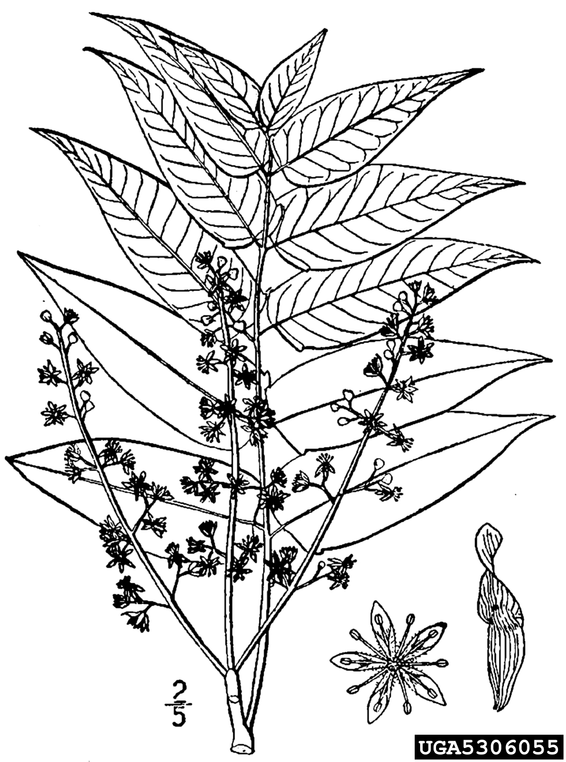 Tree Of Heaven Ailanthus Altissima Sapindales