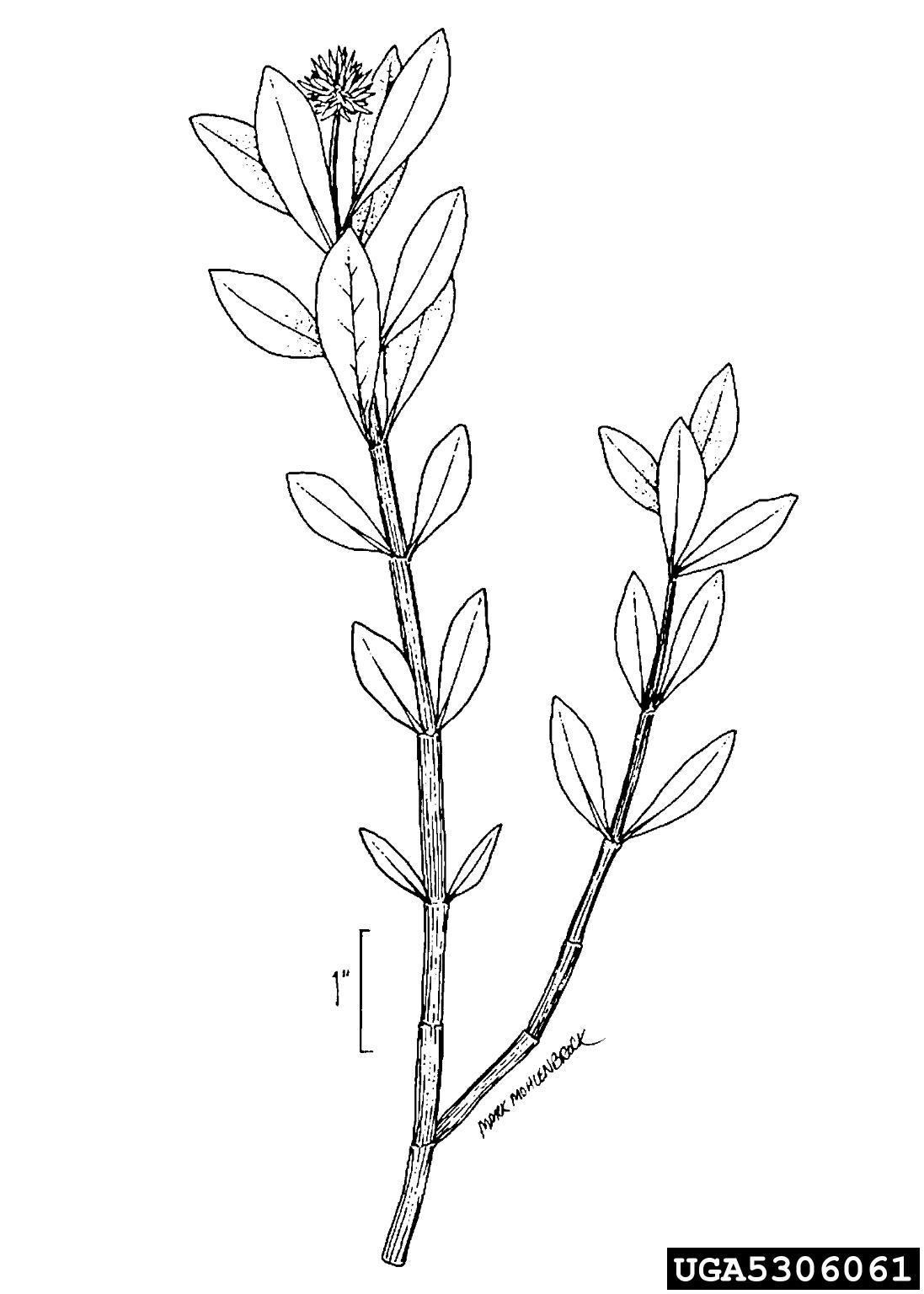 Alligatorweed Alternanthera Philoxeroides Caryophyllales
