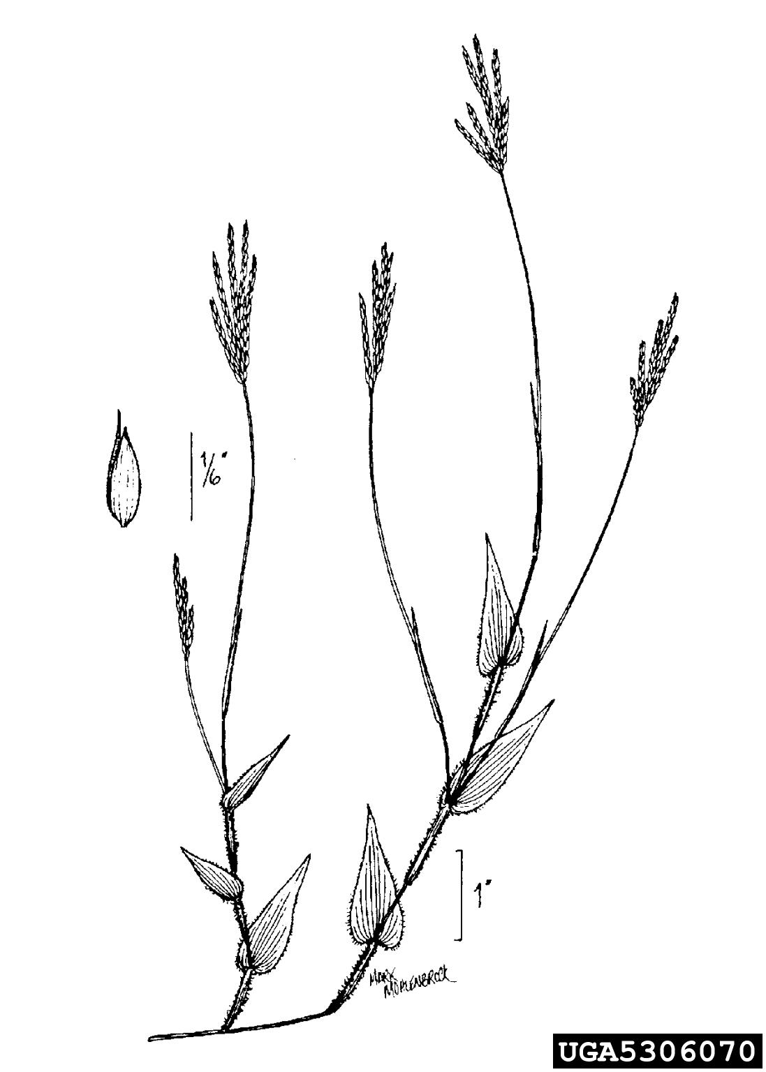 small carpgrass: Arthraxon hispidus (Cyperales: Poaceae)