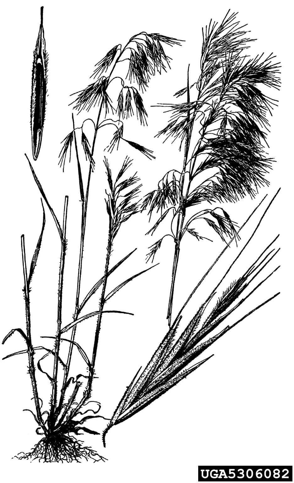 cheatgrass: Bromus tectorum (Cyperales: Poaceae)