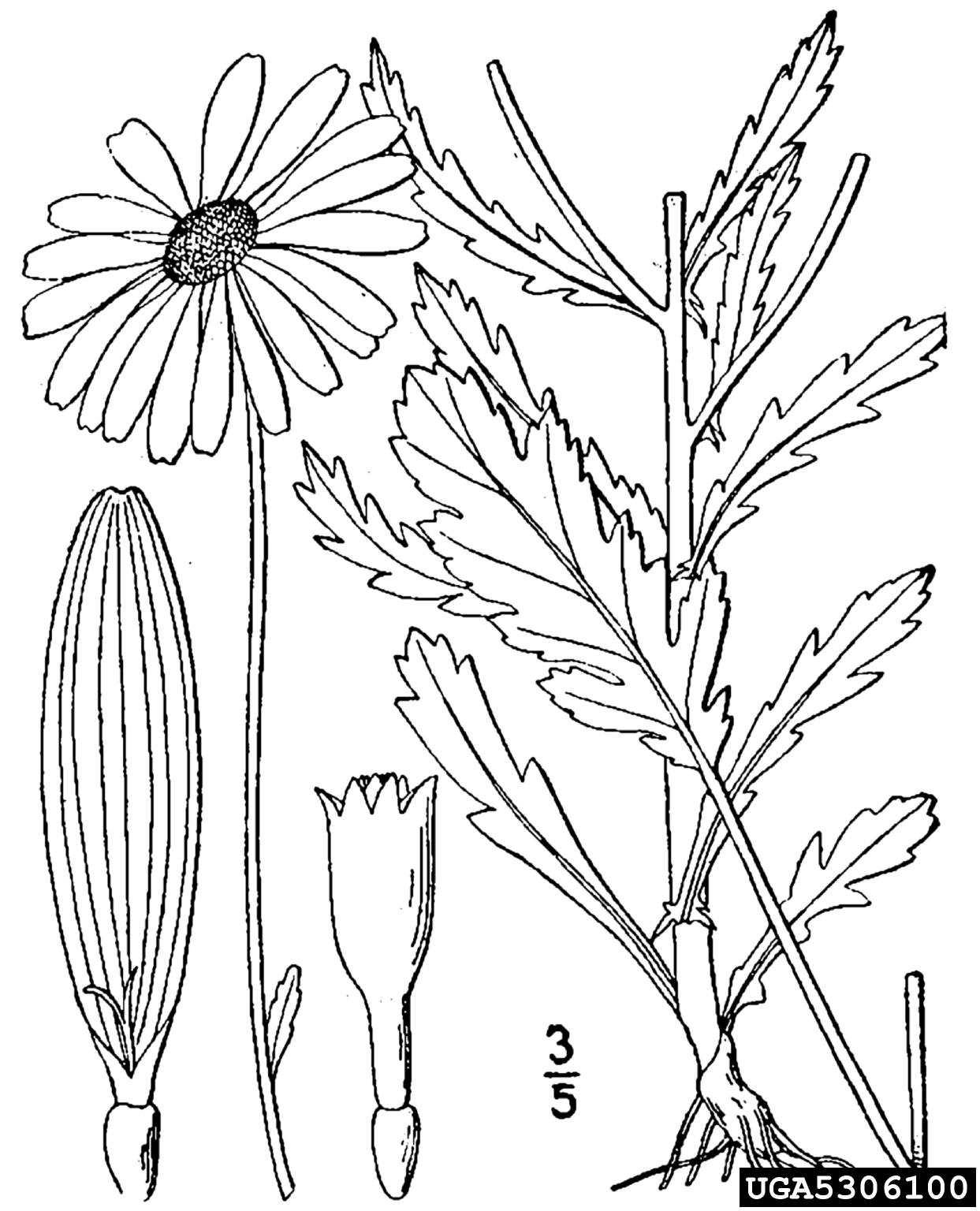 oxeye daisy: Leucanthemum vulgare (Asterales: Asteraceae)