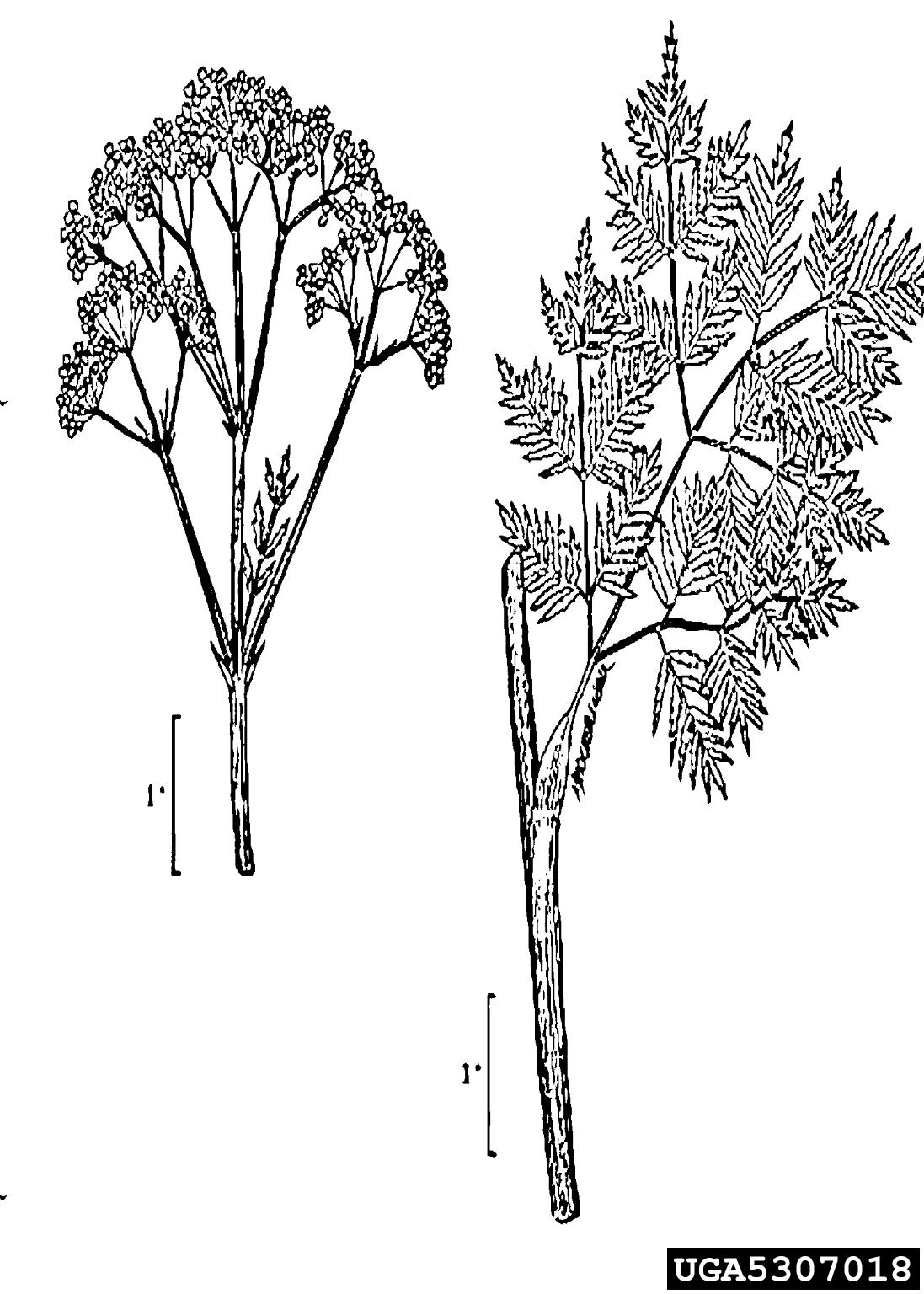 poison hemlock: Conium maculatum (Apiales: Apiaceae)