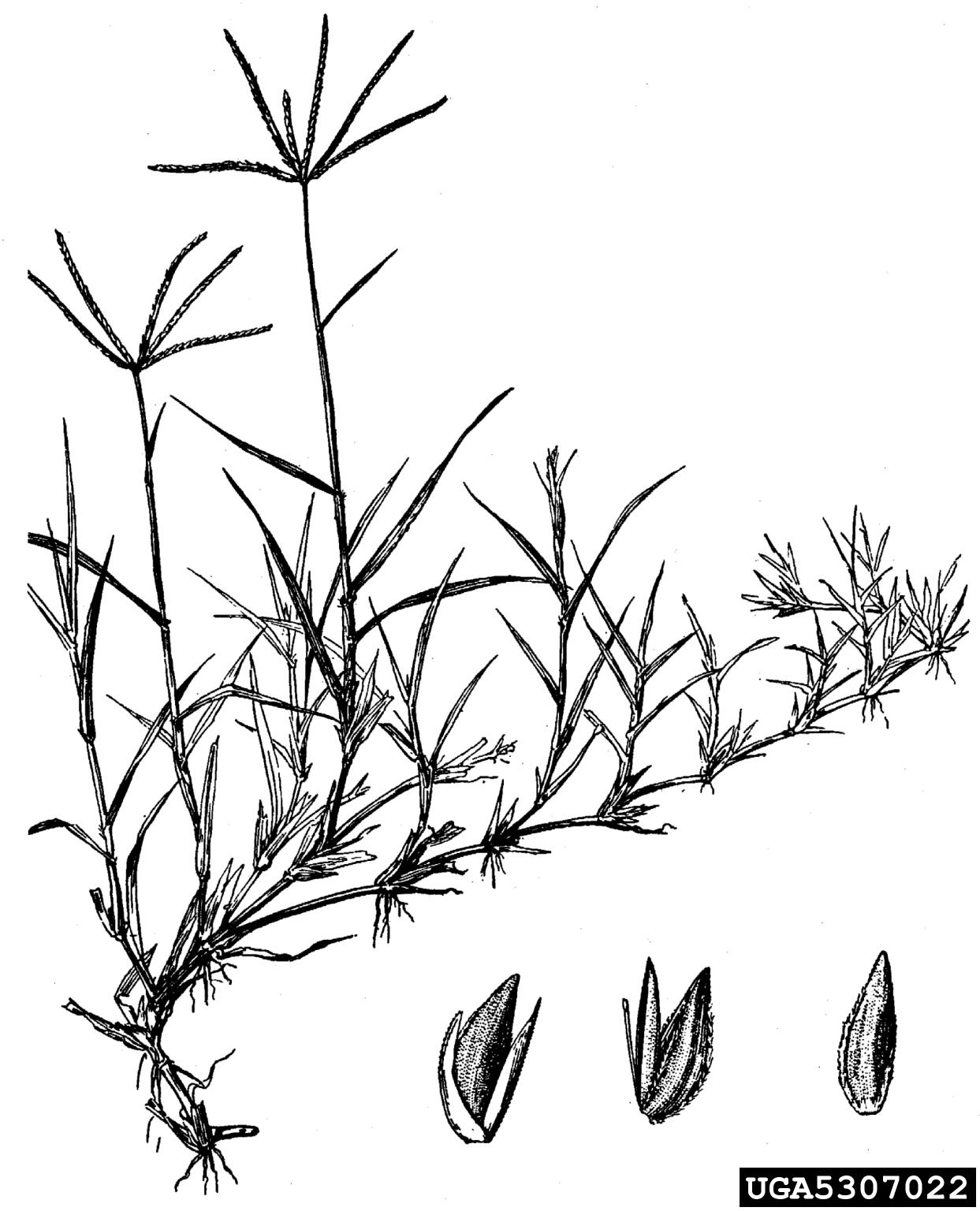 bermudagrass: Cynodon dactylon (Cyperales: Poaceae)