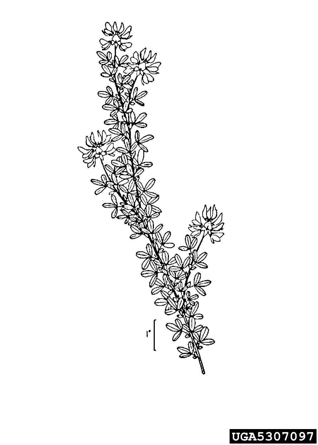 birdsfoot trefoil: Lotus corniculatus (Fabales: Fabaceae)