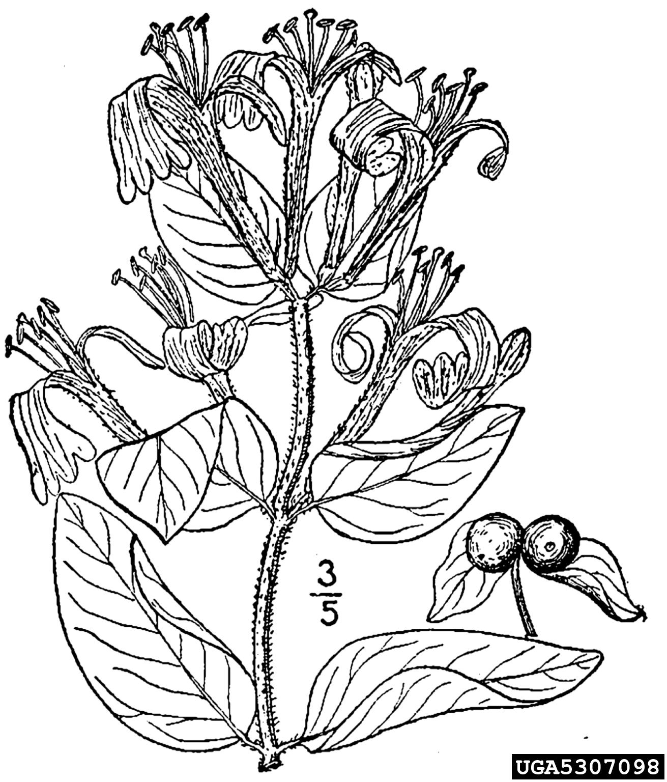 Japanese honeysuckle: Lonicera japonica (Dipsacales