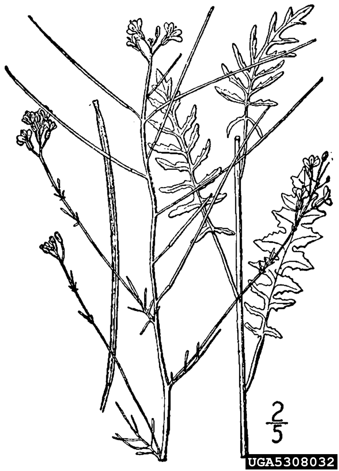 tall tumblemustard: Sisymbrium altissimum (Capparales