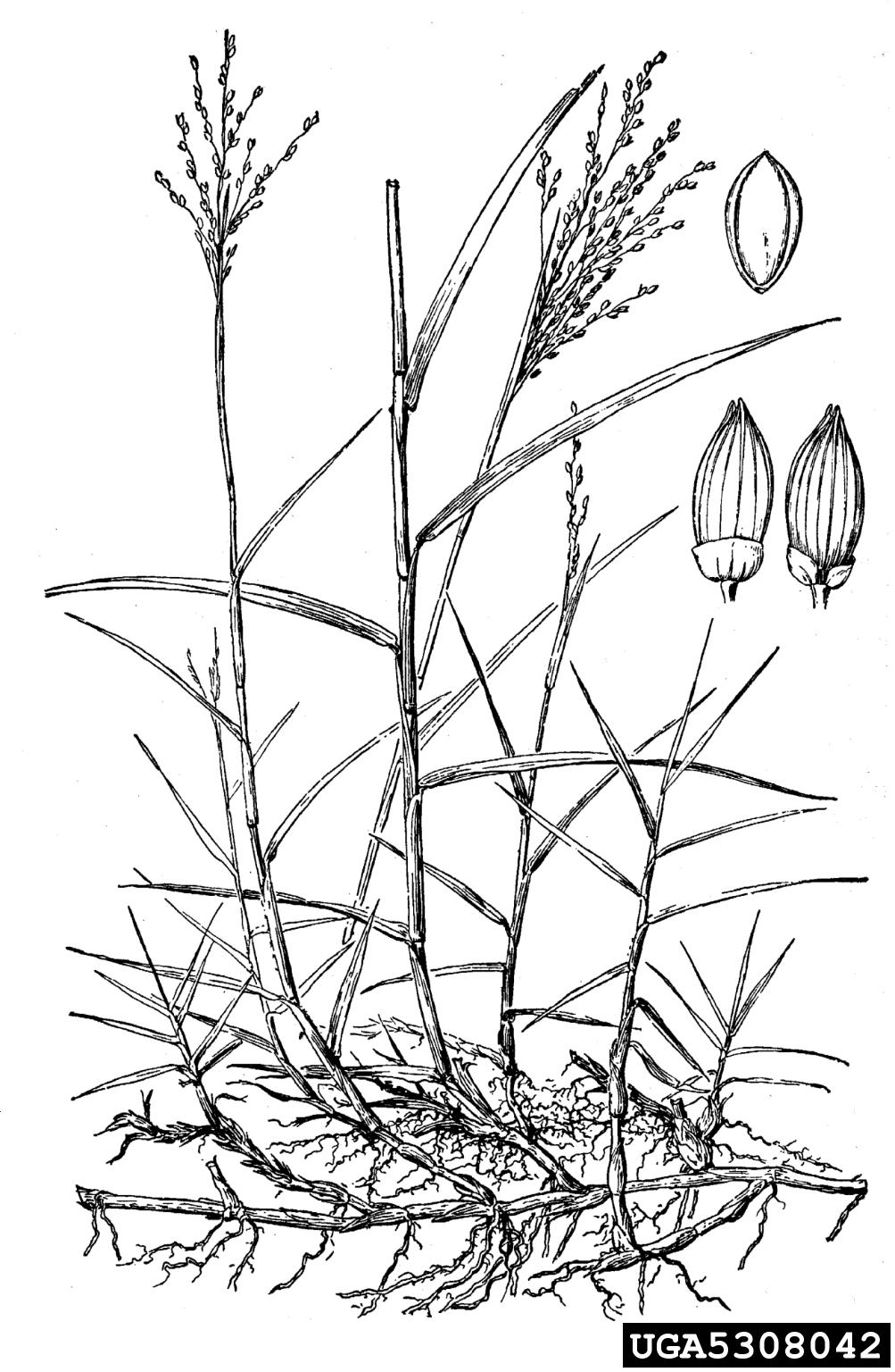 torpedograss: Panicum repens (Cyperales: Poaceae)