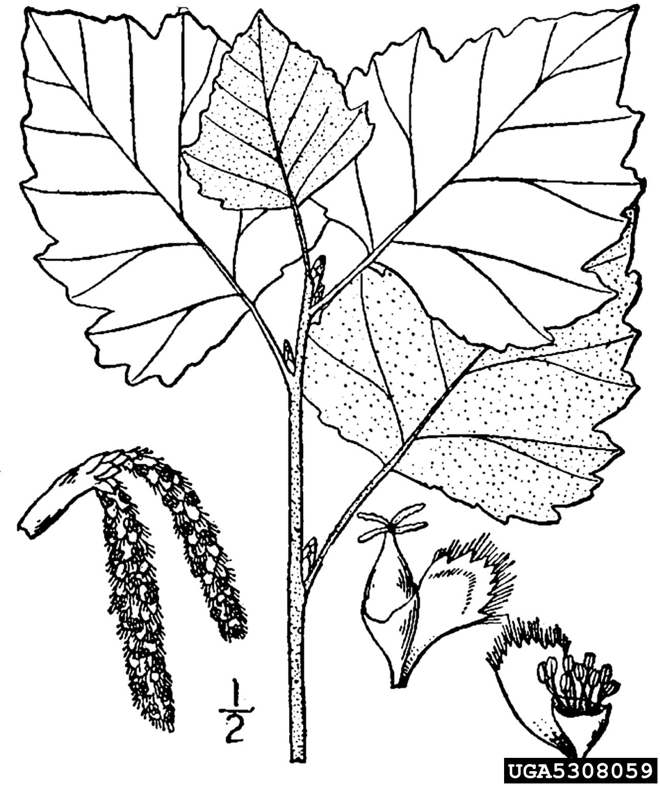 White Poplar Populus Alba Salicales Salicaceae