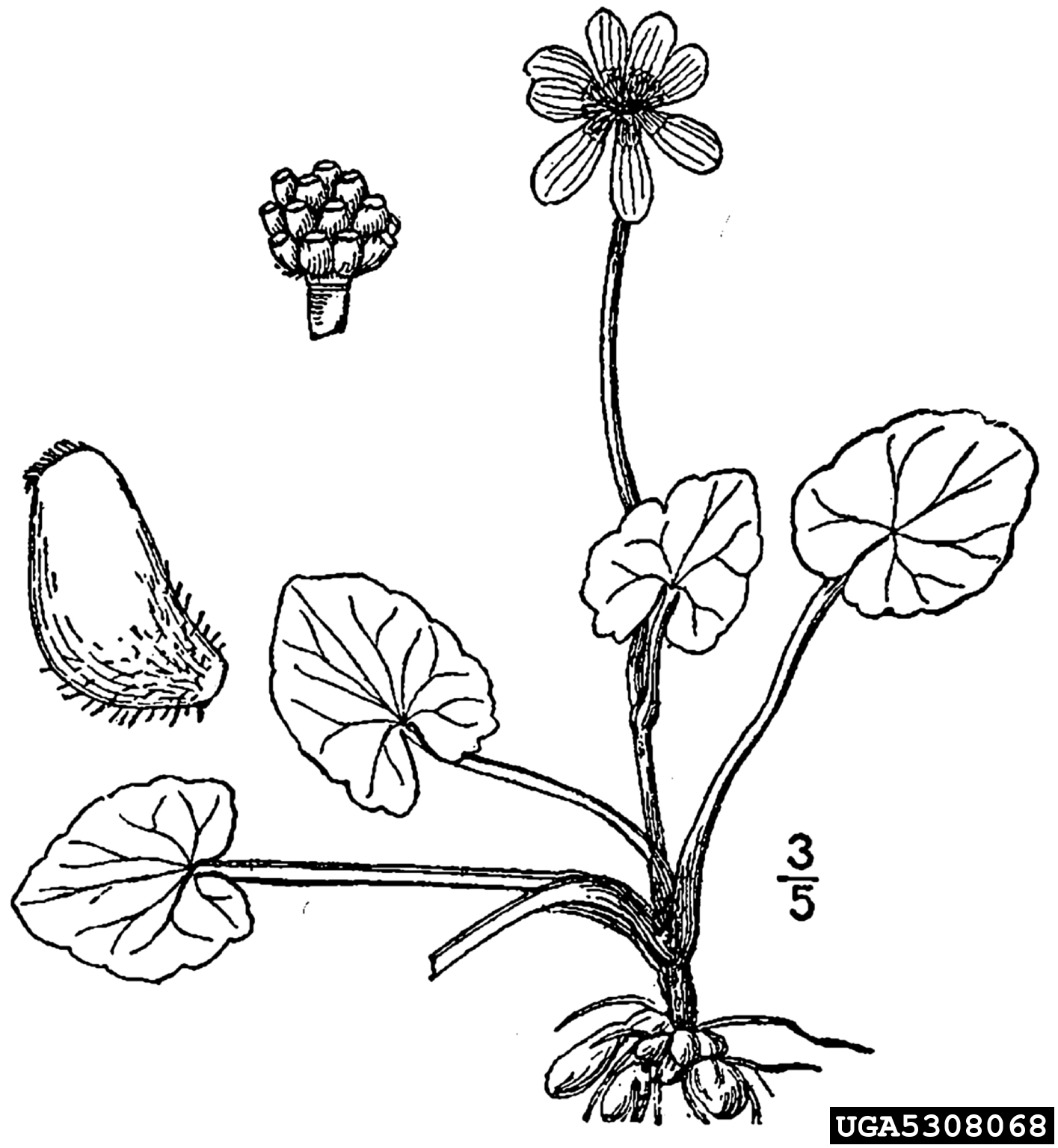 fig buttercup: Ranunculus ficaria (Ranunculales