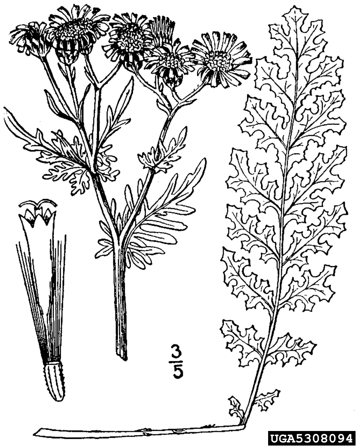 tansy ragwort: Senecio jacobaea (Asterales: Asteraceae)