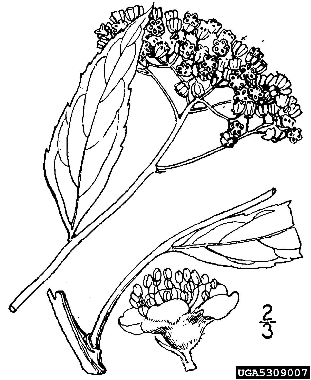 Japanese Spiraea Spiraea Japonica Rosales Rosaceae