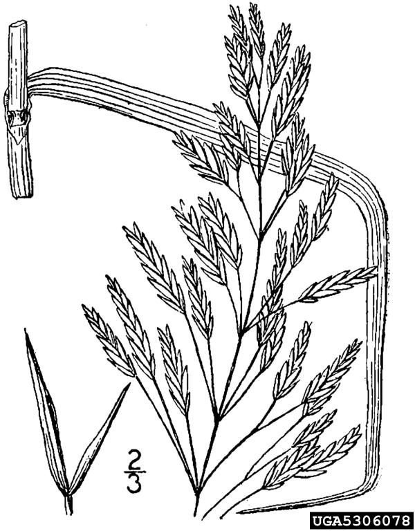 smooth brome: Bromus inermis (Cyperales: Poaceae)