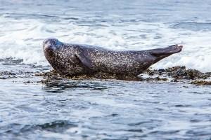 A seal on the shoreline at Portgordon
