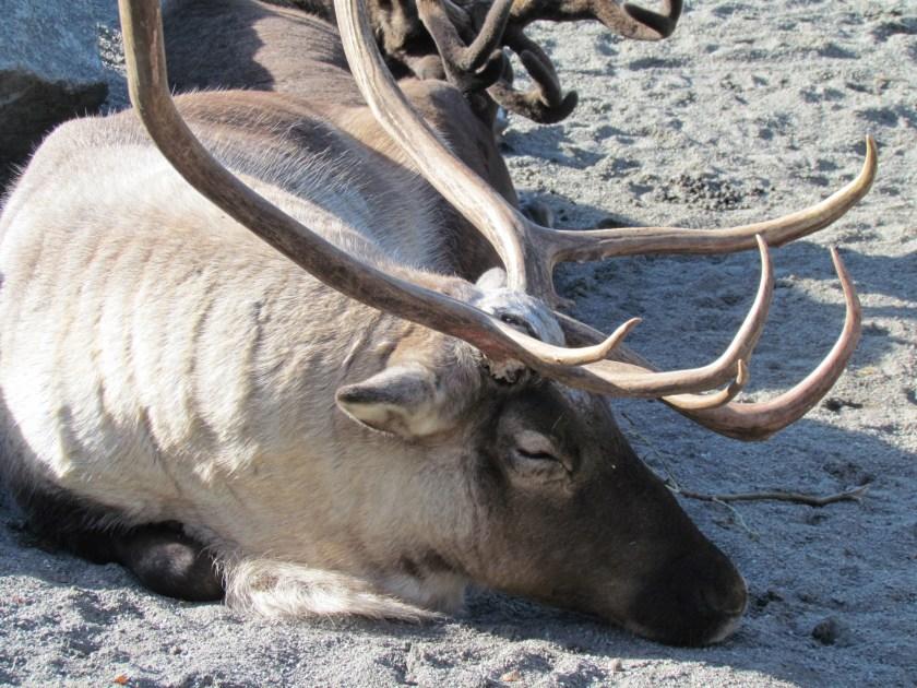 Reindeer, Skansen
