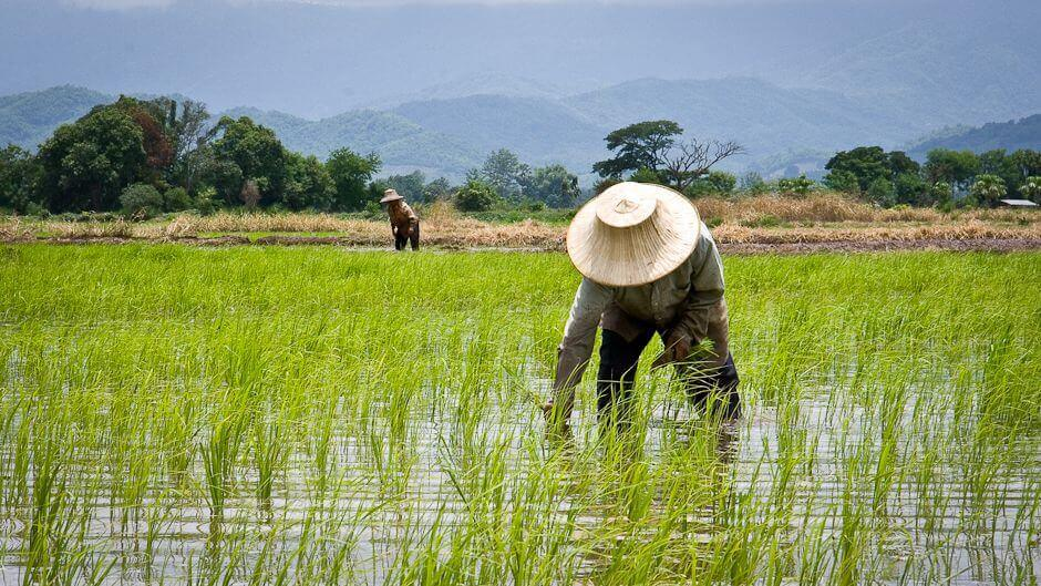 Rice Production Levels Spark Worry of Global Food Crisis