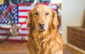 Portrait of dog with american flag in background - TaxMaster and the US Economys
