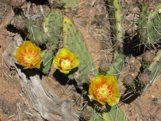 Tour dei Parchi, fiori di cactus lungo la Hermits Rest Route nel Grand Canyon (Arizona, Stati Uniti)