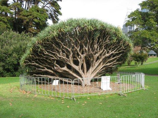 Viaggio a Sydney, esemplare di dracaena draco, pianta proveniente dalle isole Canarie (New South Wales, Australia)