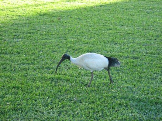 Viaggio a Sydney, ibis nei Royal Botanic Gardens (New South Wales, Australia)