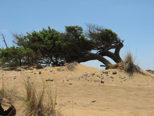 Pino spiaggia Piscinas