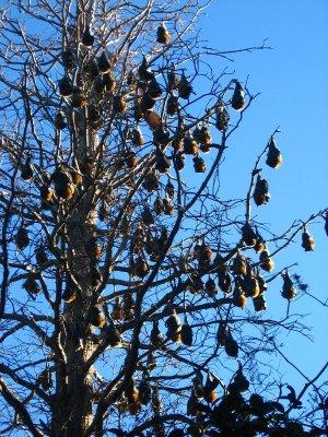 I pipistrelli ai Royal Botanic Gardens di Sydney