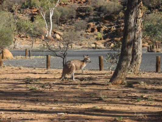 Canguro outback Australia