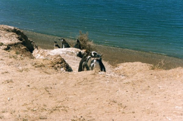 Pinguini di Magellano nella Peninsula de Valdès in Patagonia