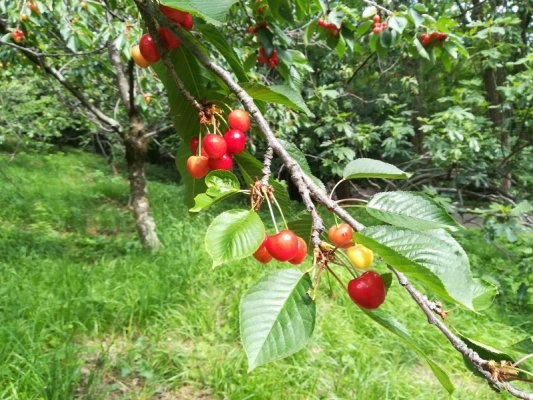 Albero di ciliegie nei dintorni di Cormons