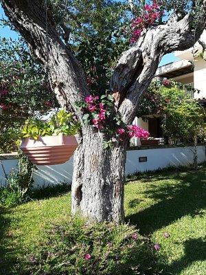 Ulivo nel giardino del Bed and Breakfast Giardino dei Suoni a Melendugno