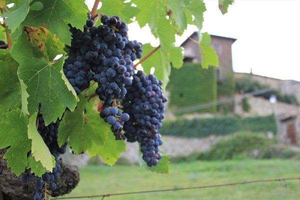 Grappoli di uva Sangiovese nei dintorni di Montefioralle nel Chianti