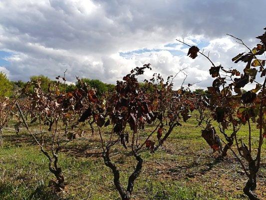 Filari di viti nel Salento