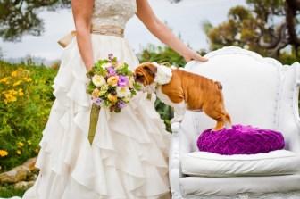 bulldog puppy wedding 1
